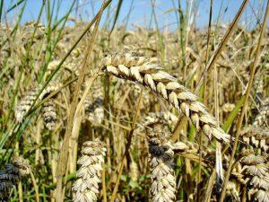 Sakarya Ekmeklik Buğday