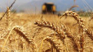 Türkiye Buğday Üretimi