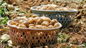 Yerli ve Milli Patates Tohumu